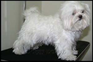 Maltese pet grooming 1