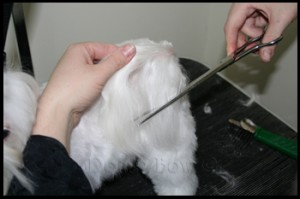 Maltese pet grooming 12