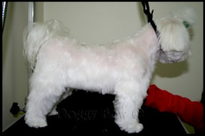 Maltese pet grooming 16
