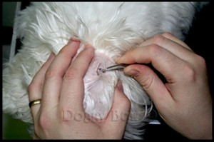 Maltese pet grooming 2