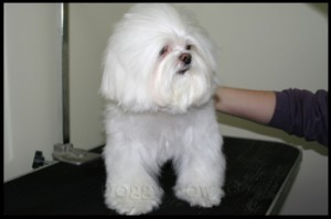 Maltese pet grooming 5