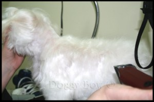 Maltese pet grooming 7